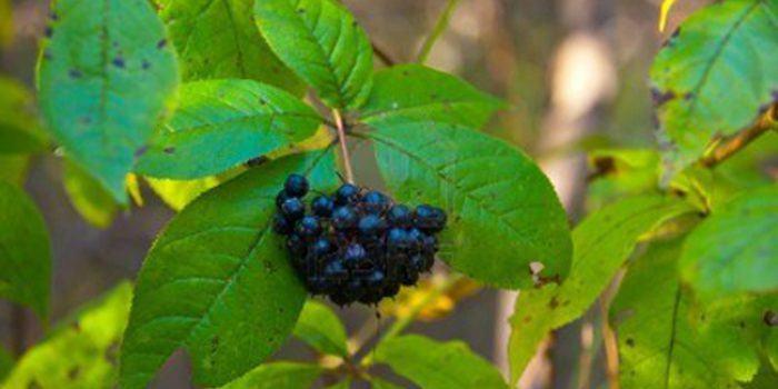 Beneficios y propiedades del ginseng siberiano